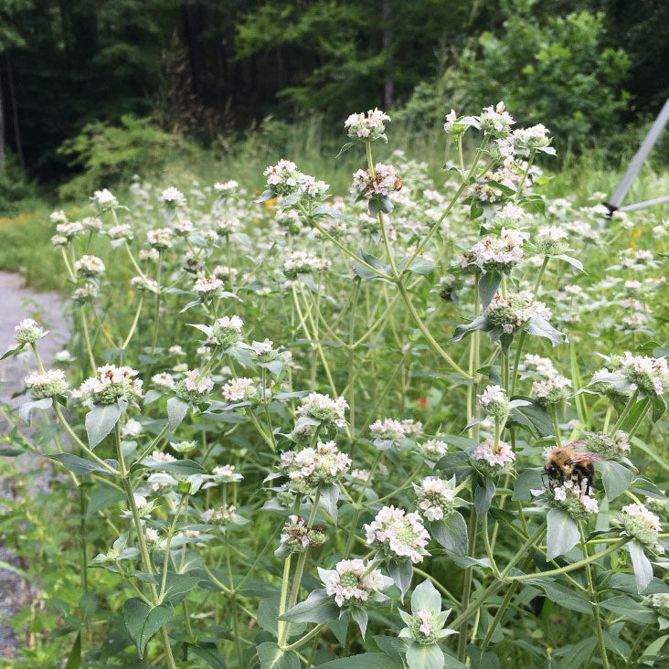 Broad-leaved Mountain mint plant