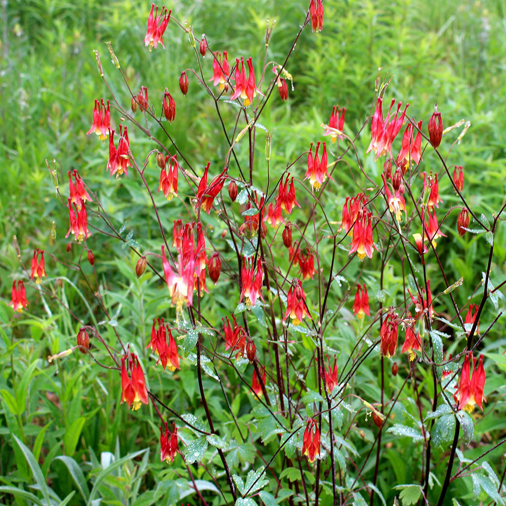 Red columbine (Aquilegia canadensis) Showy red and yellow nodding flowers with long narrow spurs, attracts hummingbirds in mid to late spring.