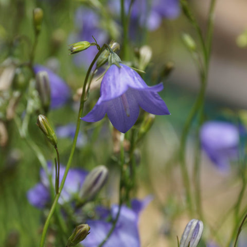 Bellflowers<br> Scotch bellflower (Campanula rotundifolia)