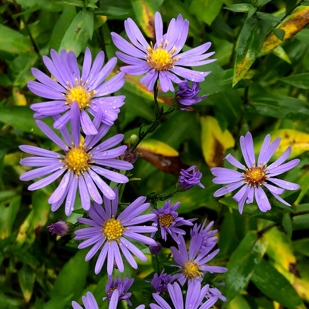 Smooth blue Aster (Symphotrichum laevis) Loose clumps of smooth light green foliage is covered with blue-petaled daisy-like flowers with bright yellow centers.