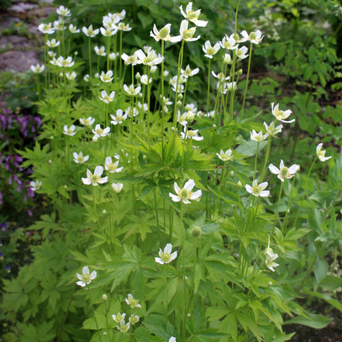 Tall anemone (Anemone virginiana) Seeds