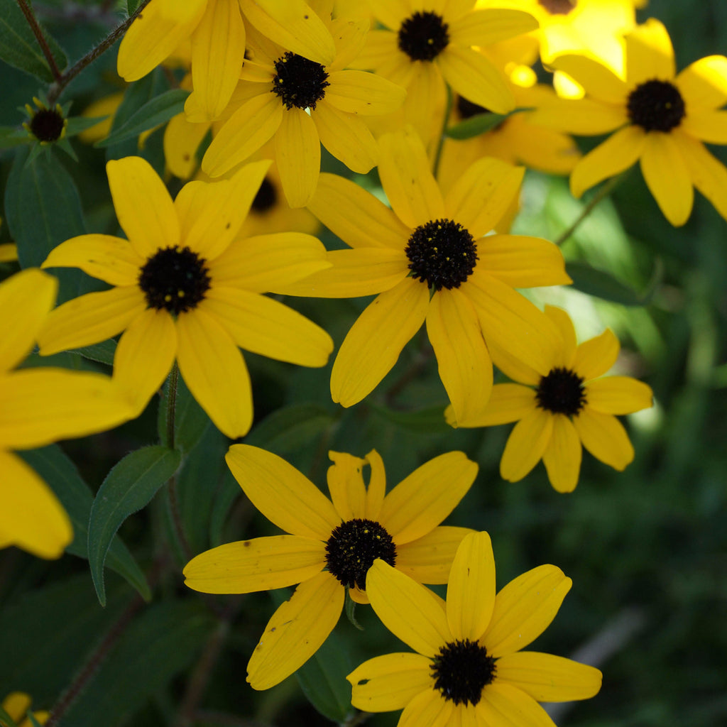 Three-lobed coneflower (Rudbeckia triloba). Fall blooming bright yellow small coneflowers brighten up gardens and shady edges; tall stems with delicate foliage.