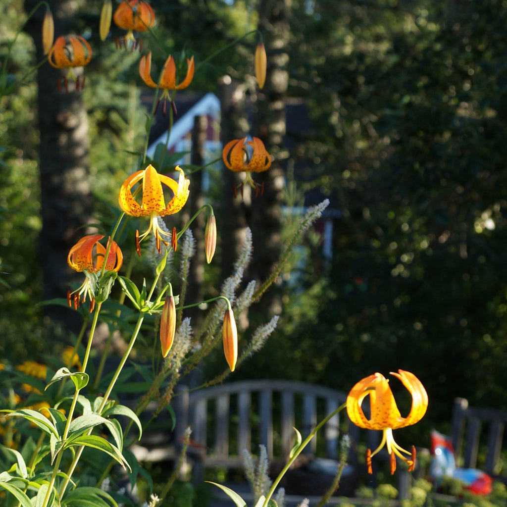 Turk's-cap lily (Lilium superbum). A summer blooming meadow lily with dramatic tiers of whorled foliage and in midsummer nodding orange flowers with petals curled back like a Turk's cap.