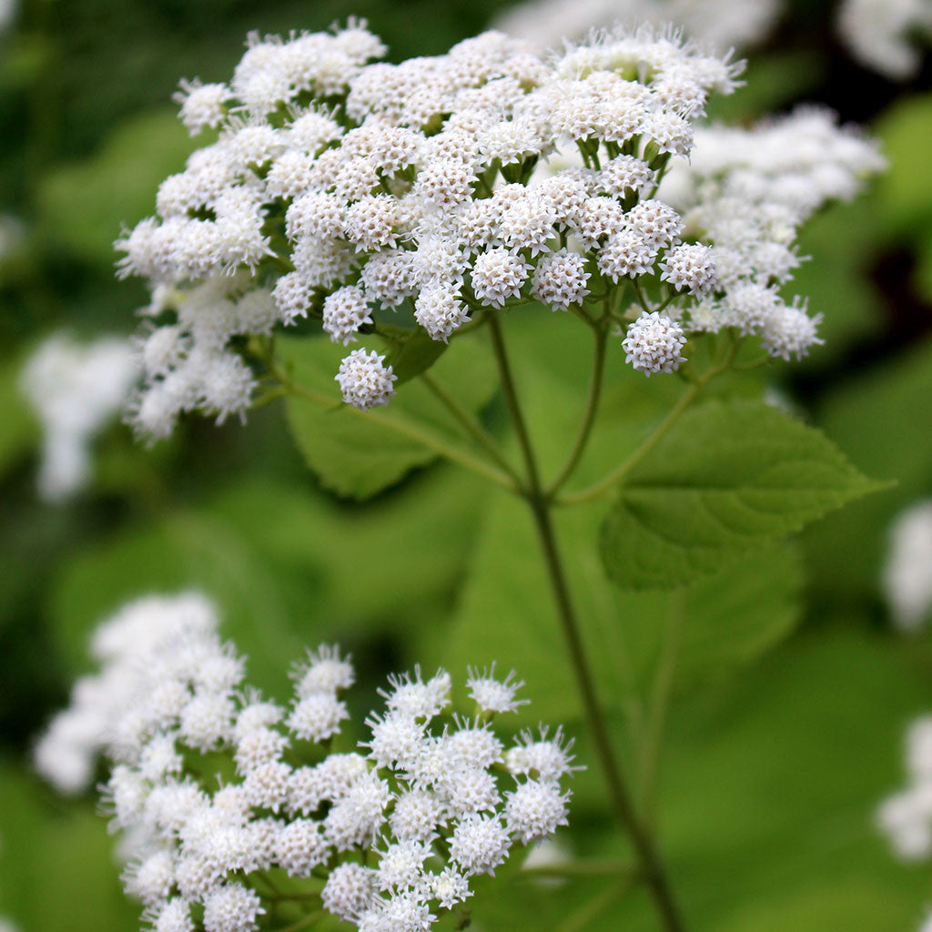 White Snakeroot Ageratina Altissima Seeds Wild Seed Project Shop