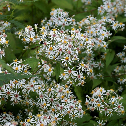 Asters<br> White wood-aster (Eurybia divaricata)