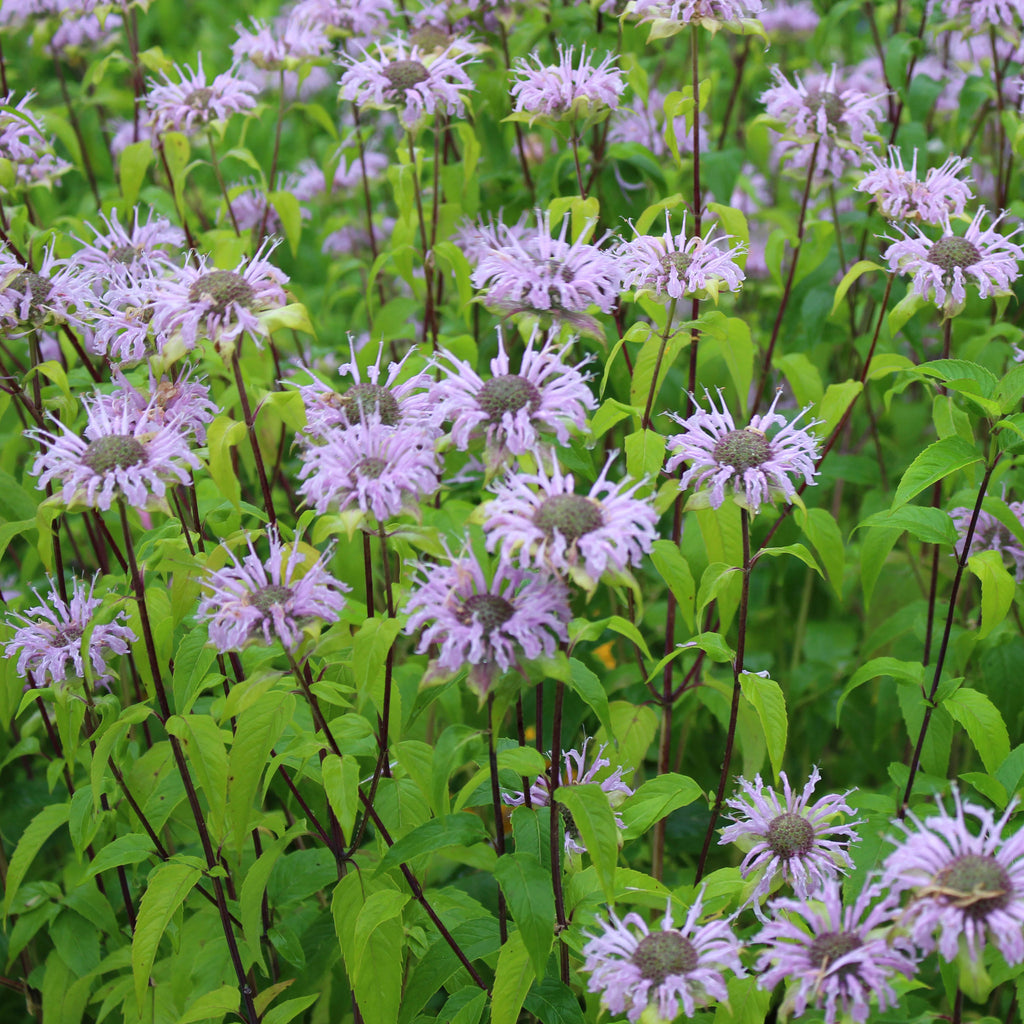Wild bee-balm, Wild bergamot (Monarda fistulosa)  Distinctive lavender flowers bloom atop fragrant blue-green foliage, attracting butterflies, bees and hummingbirds.