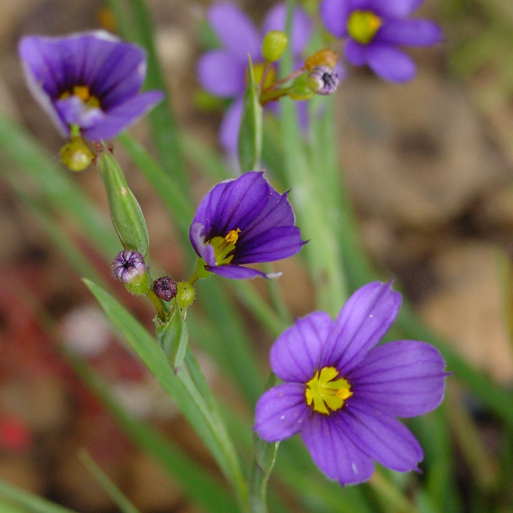 Blue-eyed-grass, Sisyrinchium montanum: A tiny meadow iris with yellow-eyed, deep blue flowers and grass-like leaves. Attracts butterflies and bees.