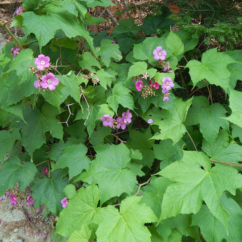 Flowering raspberry (Rubus odoratus)