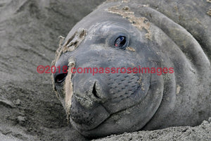 Seal 2 Greeting Card 8X10 Matted Print (5X7 Photo) 11X14 (8X10
