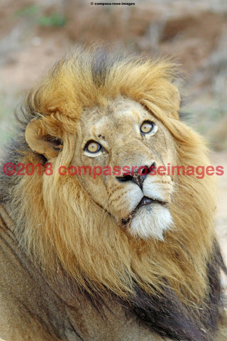 Lion 28 Greeting Card 8X10 Matted Print (5X7 Photo) 11X14 (8X10