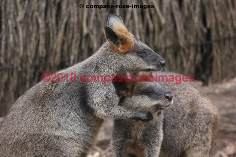 Kangaroo 4 Greeting Card 8X10 Matted Print (5X7 Photo) 11X14 (8X10