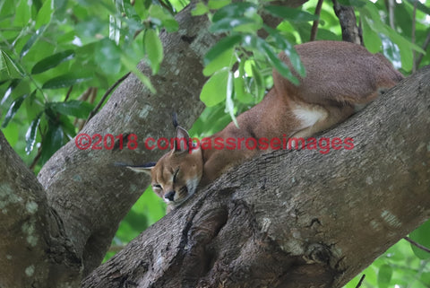 Caracal 1 Greeting Card 8X10 Matted Print (5X7 Photo) 11X14 (8X10