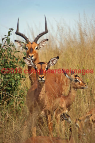 Impala Greeting Card 8X10 Matted Print (5X7 Photo) 11X14 (8X10