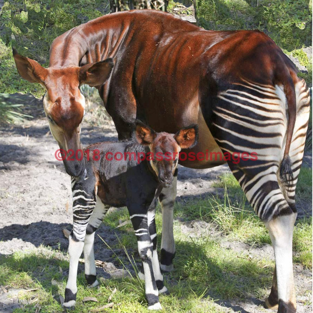Okapi 2-T 4.25X4.25 Tile With Cork Back Ceramic Tile