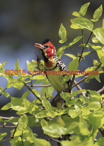 Barbet Red And Yellow 1-Canvas Canvas-10 X 10 Canvas
