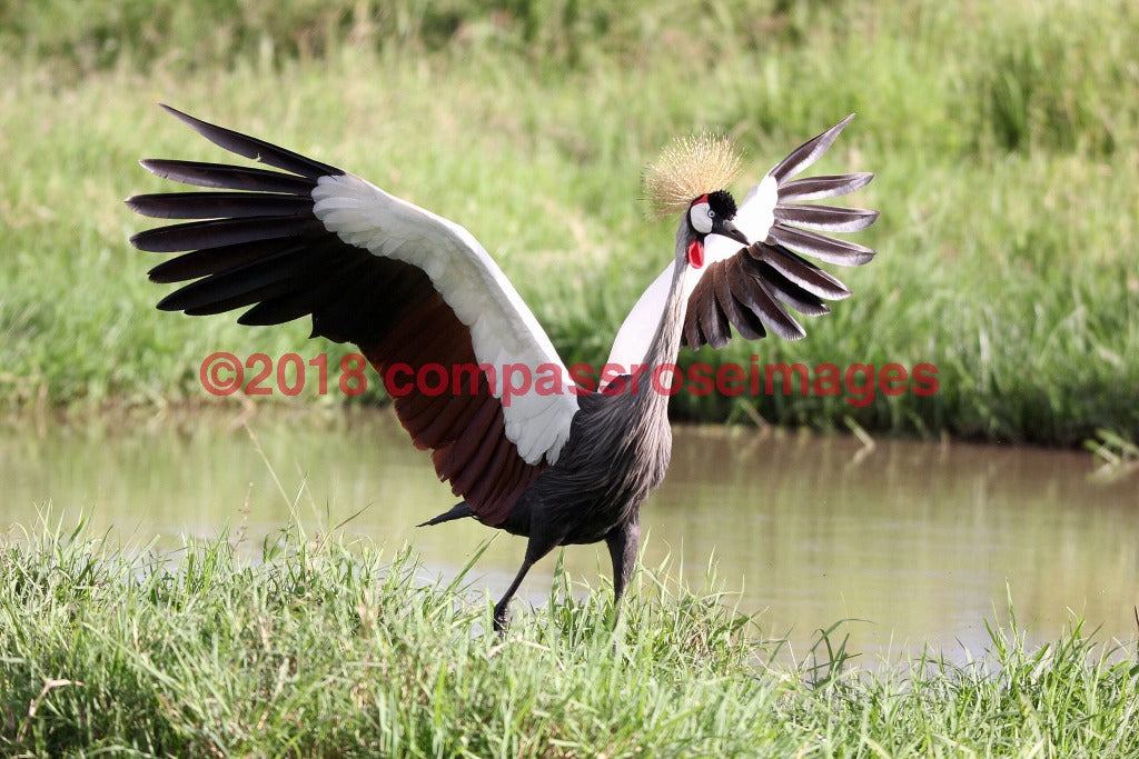 Gray Crowned Crane 2 Greeting Card 8X10 Matted Print (5X7 Photo) 11X14 (8X10