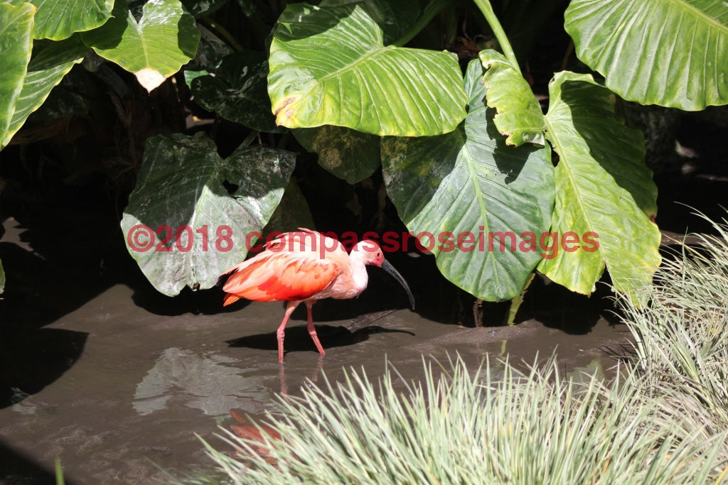Scarlet Ibis 2 Greeting Card 8X10 Matted Print (5X7 Photo) 11X14 (8X10