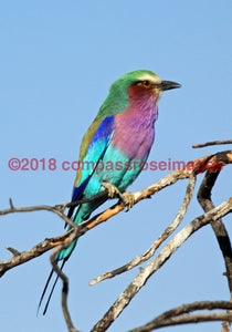 Lilac Breasted Roller 2 Greeting Card 8X10 Matted Print (5X7 Photo) 11X14 (8X10
