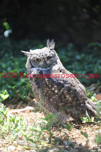 Owl 17 Greeting Card 8X10 Matted Print (5X7 Photo) 11X14 (8X10