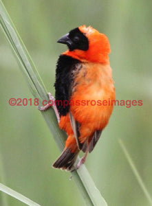 Red Bishop 1 Greeting Card 8X10 Matted Print (5X7 Photo) 11X14 (8X10