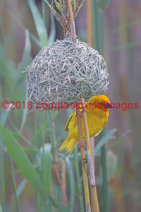 Yellow Weaver 1 Greeting Card 8X10 Matted Print (5X7 Photo) 11X14 (8X10