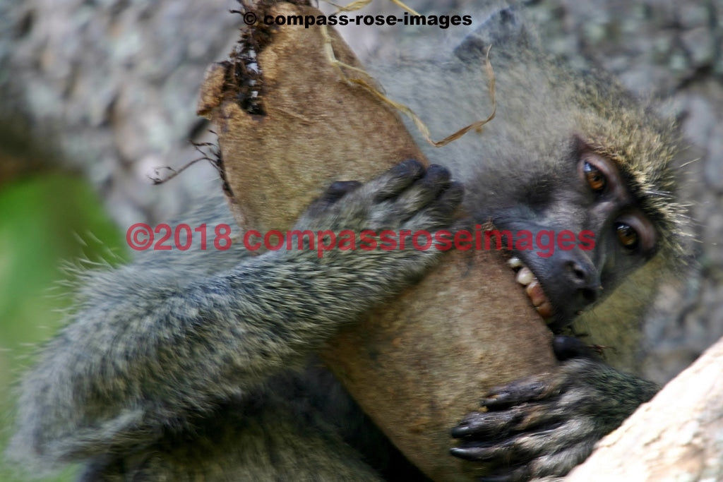 Monkey 9 Greeting Card 8X10 Matted Print (5X7 Photo) 11X14 (8X10
