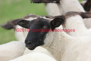 Sheep 5 Greeting Card 8X10 Matted Print (5X7 Photo) 11X14 (8X10