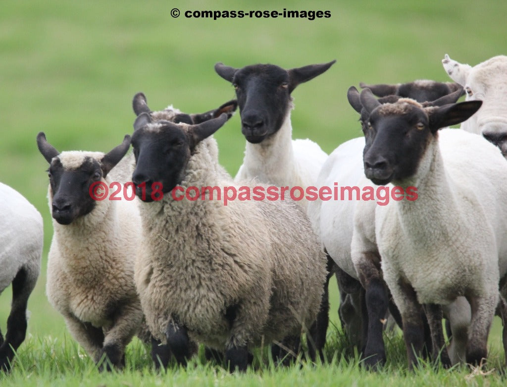 Sheep 6 Greeting Card 8X10 Matted Print (5X7 Photo) 11X14 (8X10