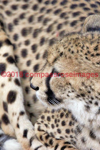 Cheetah 4 Greeting Card 8X10 Matted Print (5X7 Photo) 11X14 (8X10