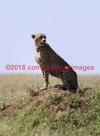 Cheetah 10 Greeting Card 8X10 Matted Print (5X7 Photo) 11X14 (8X10