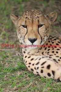 Cheetah 11 Greeting Card 8X10 Matted Print (5X7 Photo) 11X14 (8X10