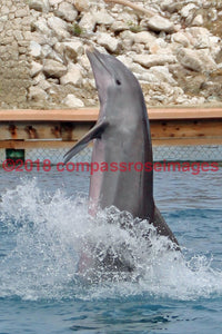 Dolphin 1 Greeting Card 8X10 Matted Print (5X7 Photo) 11X14 (8X10