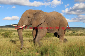 Elephant 25 Greeting Card 8X10 Matted Print (5X7 Photo) 11X14 (8X10