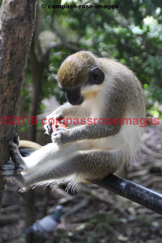 Monkey 11 Greeting Card 8X10 Matted Print (5X7 Photo) 11X14 (8X10