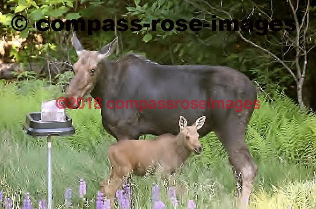 Moose 15 Greeting Card 8X10 Matted Print (5X7 Photo) 11X14 (8X10