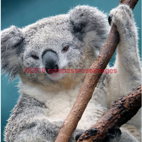 Koala 1-T 4.25X4.25 Tile With Cork Back Ceramic Tile