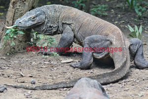 Komodo Dragon 2-Canvas Canvas-10 X 10 Canvas