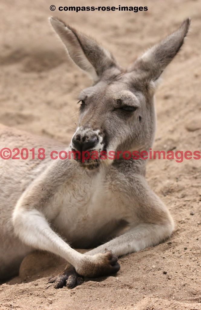 Kangaroo 5 Greeting Card 8X10 Matted Print (5X7 Photo) 11X14 (8X10