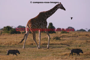 Giraffe 3 Greeting Card 8X10 Photo Print 11X14 Matted (8X10 Photo)
