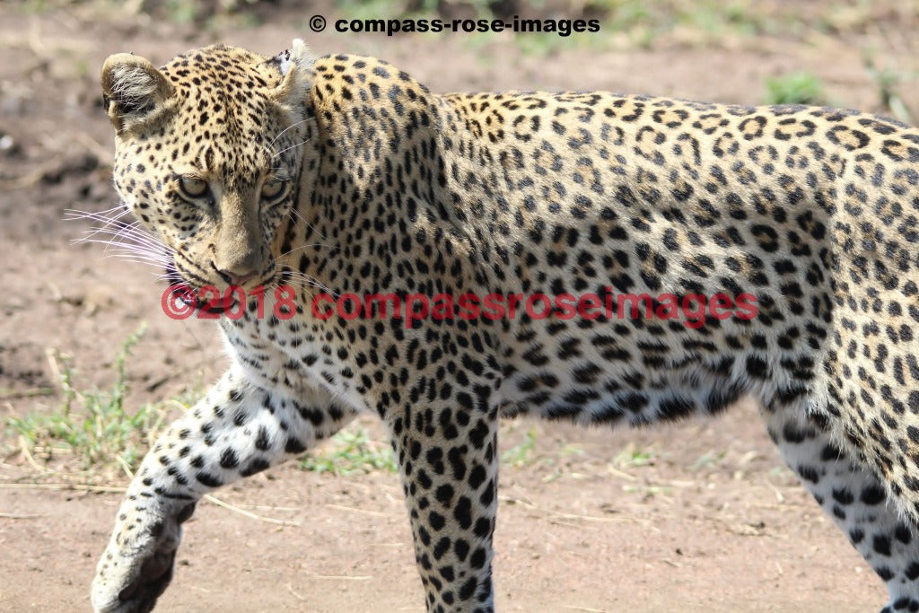Leopard 6 Greeting Card 8X10 Matted Print (5X7 Photo) 11X14 (8X10