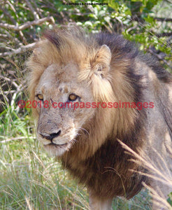 Lion 46 Greeting Card 8X10 Matted Print (5X7 Photo) 11X14 (8X10