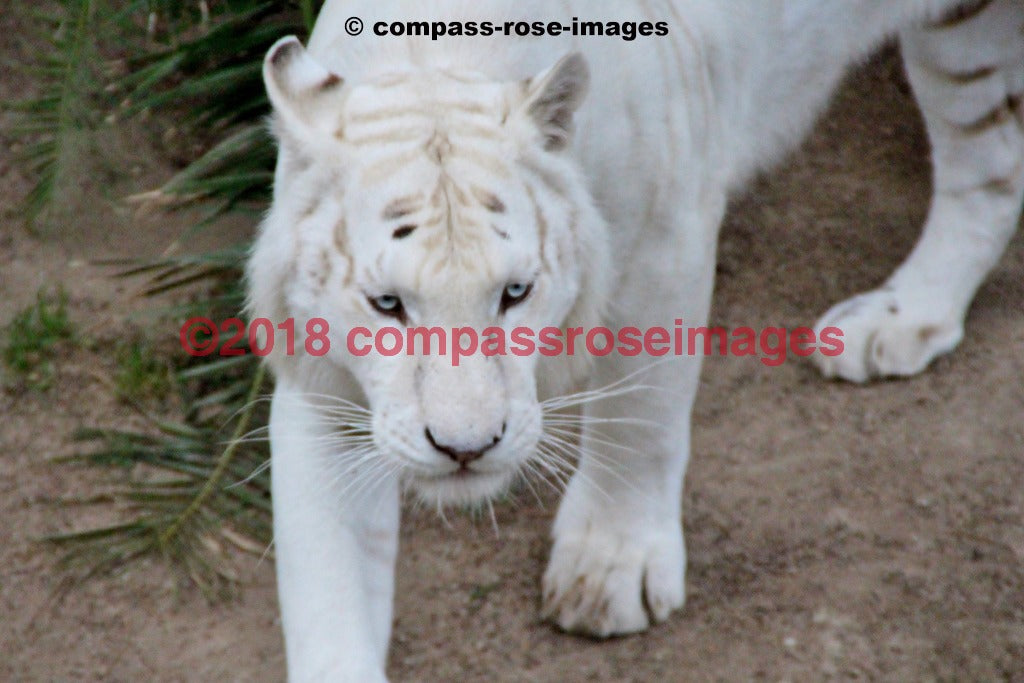 Tiger 2 Greeting Card 8X10 Matted Print (5X7 Photo) 11X14 (8X10