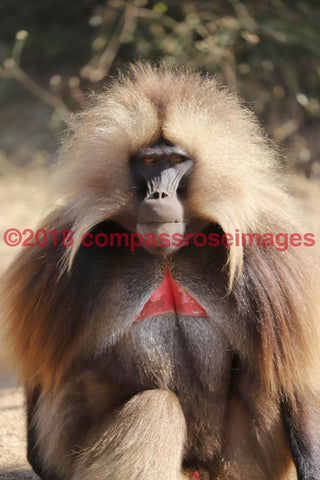Monkey 36 Greeting Card 8X10 Matted Print (5X7 Photo) 11X14 (8X10