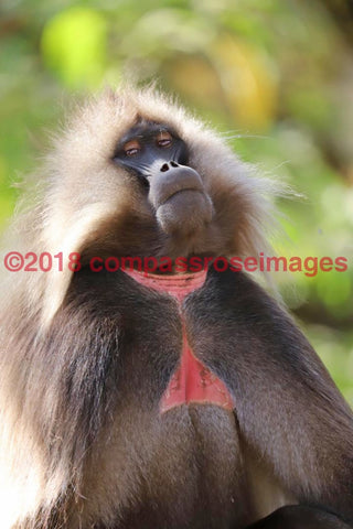 Monkey 37 Greeting Card 8X10 Matted Print (5X7 Photo) 11X14 (8X10