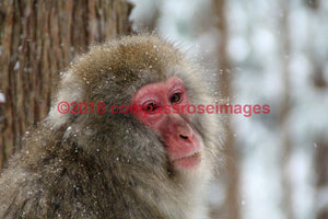 Monkey Snow 7-Metal Metal - 8 X 10