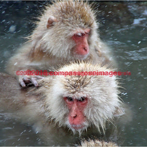 Snow Monkey 8 4.25X4.25 Tile With Cork Back Ceramic Tile