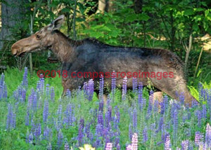 Moose 17 Greeting Card 8X10 Matted Print (5X7 Photo) 11X14 (8X10