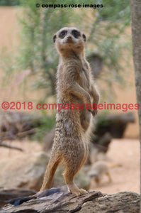 Meerkat 5 Greeting Card 8X10 Matted Print (5X7 Photo) 11X14 (8X10