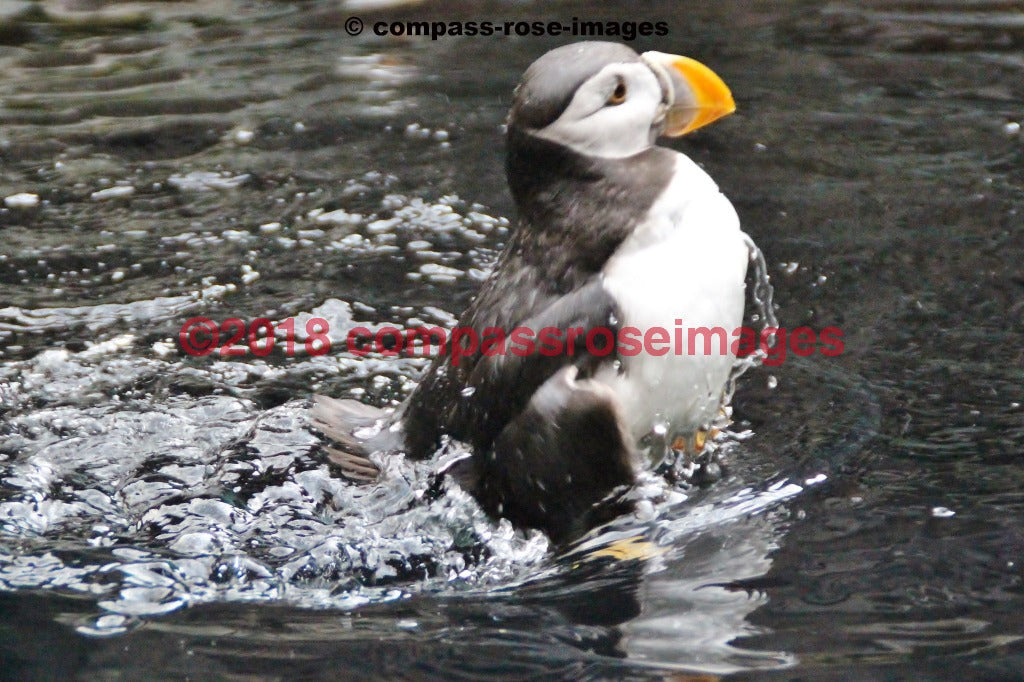 Puffin 4 Greeting Card 8X10 Matted Print (5X7 Photo) 11X14 (8X10