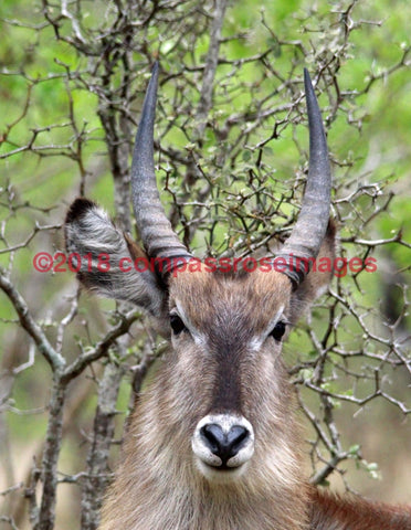 Waterbuck 1-Metal Metal - 8 X 10